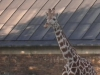 Giraffe - London Zoo