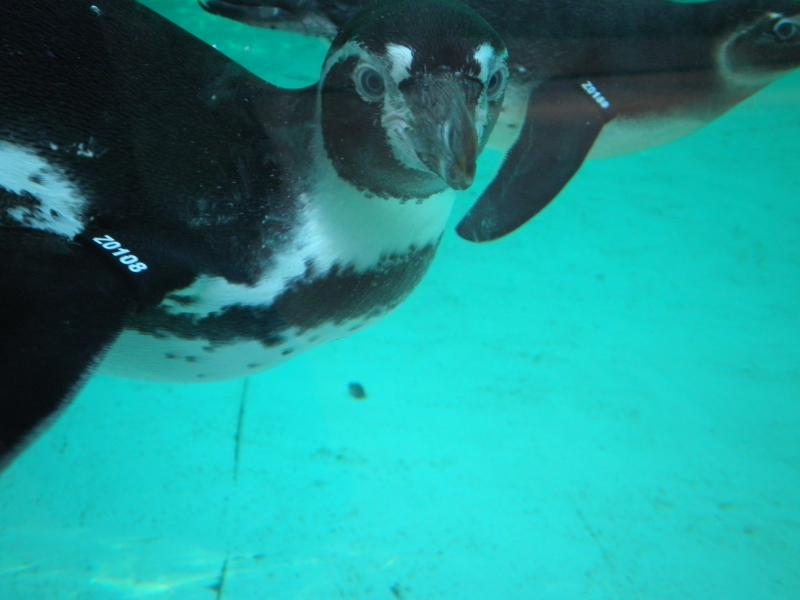 Penguins - London Zoo