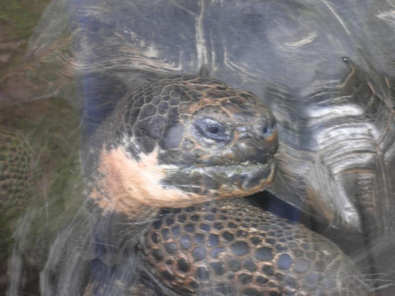 Tortoise - London Zoo