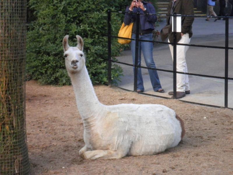 Llama - London Zoo