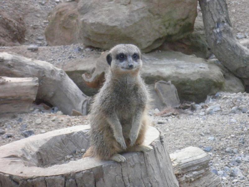 Meerkats - London Zoo