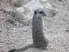 Meerkats - London Zoo