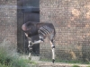 Okapi - London Zoo